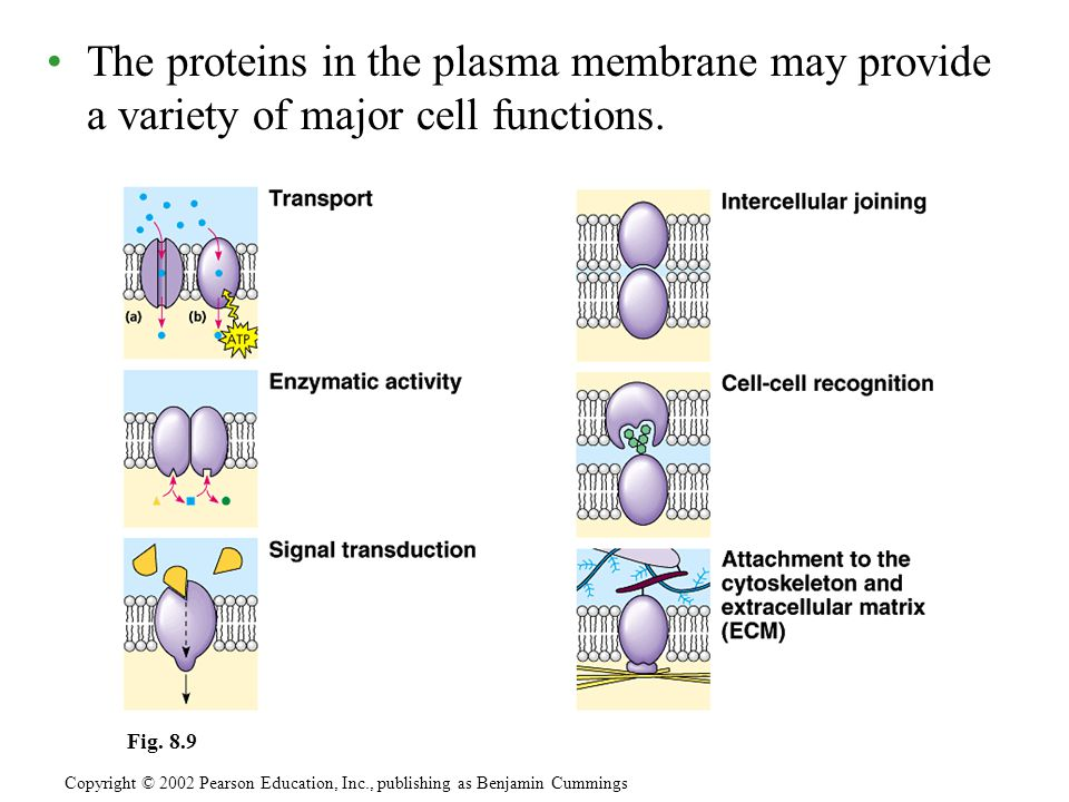 The proteins in the plasma membrane may provide a variety of major cell functions.