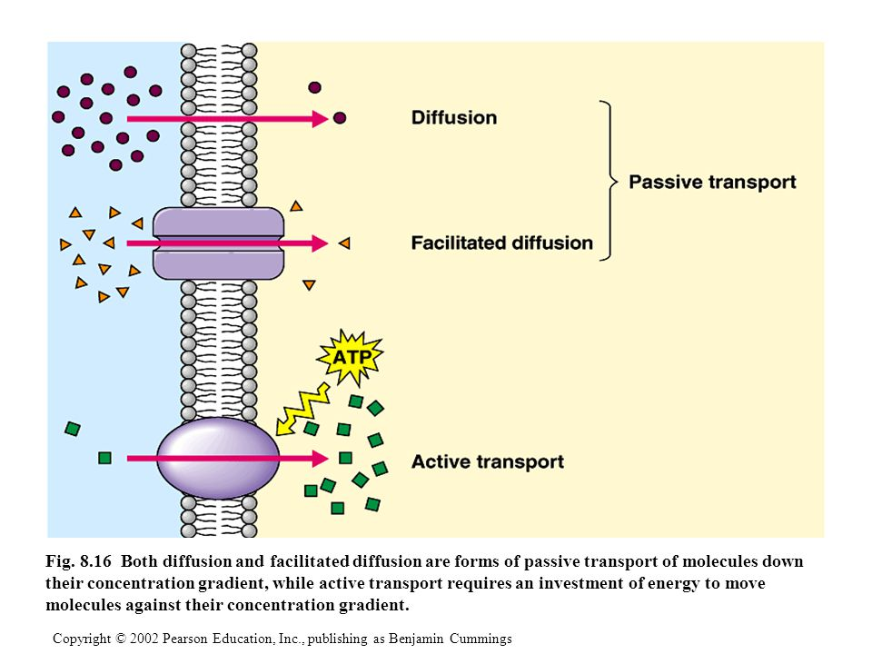 Fig. 8.16 Both diffusion and facilitated diffusion are forms of passive transport of molecules down their concentration gradient, while active transport requires an investment of energy to move molecules against their concentration gradient.