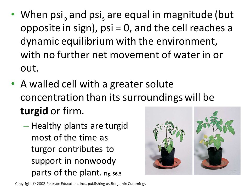 When psip and psis are equal in magnitude (but opposite in sign), psi = 0, and the cell reaches a dynamic equilibrium with the environment, with no further net movement of water in or out.