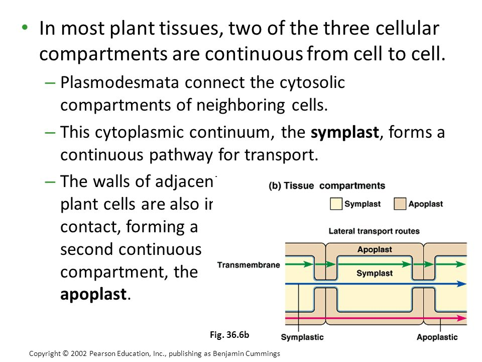 In most plant tissues, two of the three cellular compartments are continuous from cell to cell.