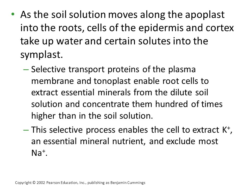 As the soil solution moves along the apoplast into the roots, cells of the epidermis and cortex take up water and certain solutes into the symplast.