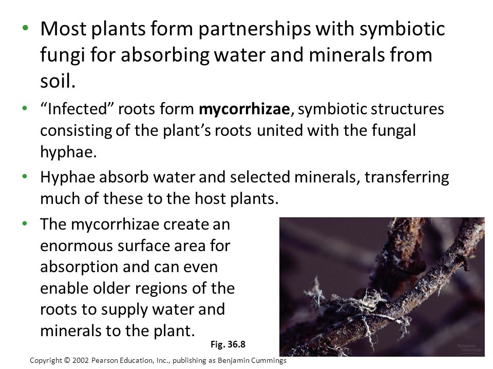 Most plants form partnerships with symbiotic fungi for absorbing water and minerals from soil.