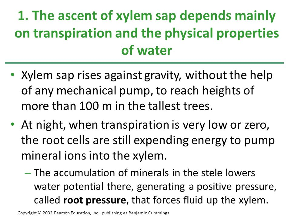 1. The ascent of xylem sap depends mainly on transpiration and the physical properties of water