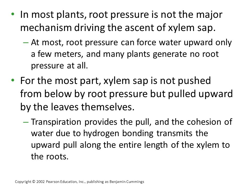In most plants, root pressure is not the major mechanism driving the ascent of xylem sap.