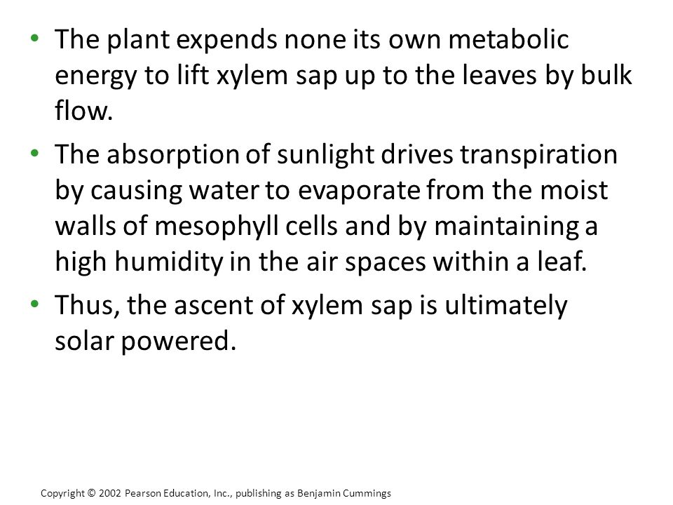Thus, the ascent of xylem sap is ultimately solar powered.