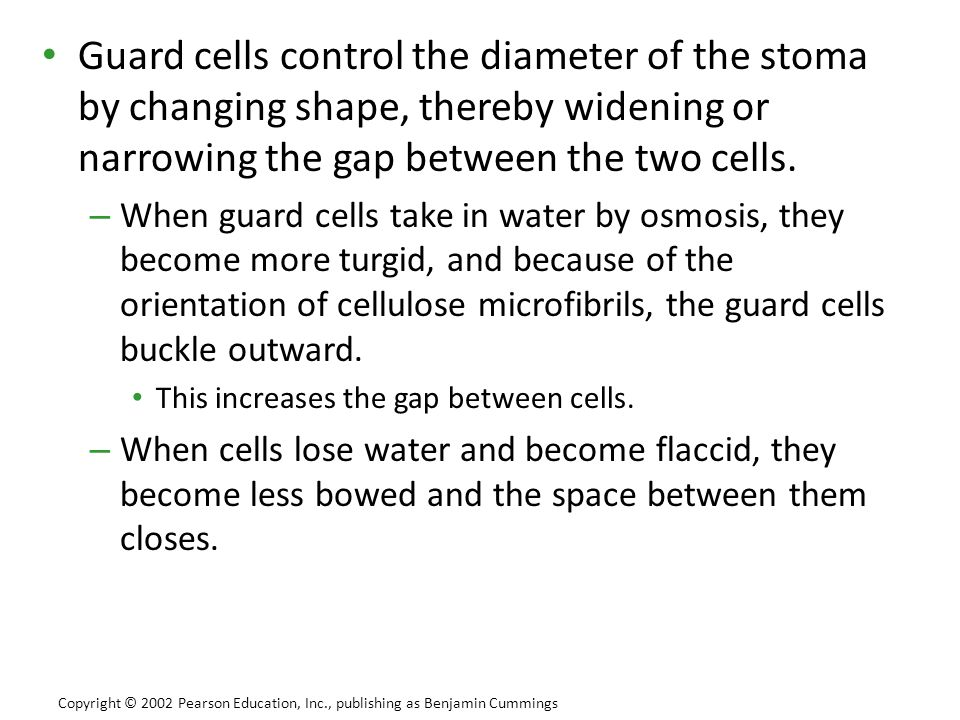 Guard cells control the diameter of the stoma by changing shape, thereby widening or narrowing the gap between the two cells.