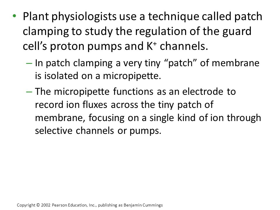 Plant physiologists use a technique called patch clamping to study the regulation of the guard cell's proton pumps and K+ channels.