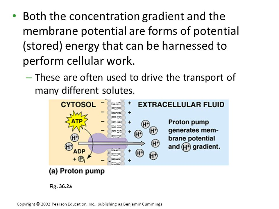 Both the concentration gradient and the membrane potential are forms of potential (stored) energy that can be harnessed to perform cellular work.