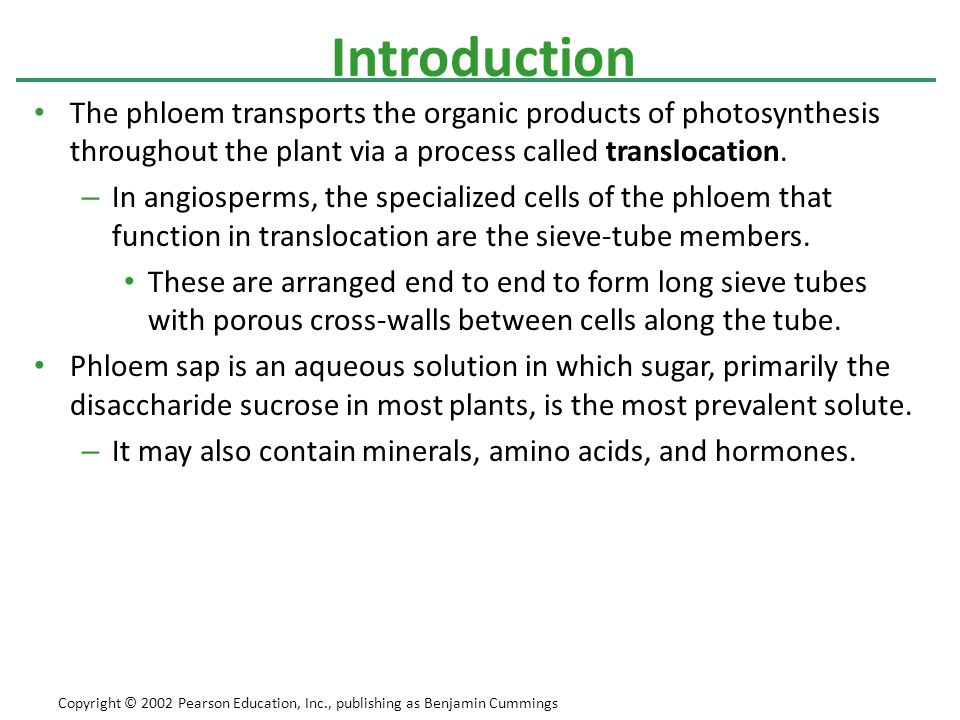 Introduction The phloem transports the organic products of photosynthesis throughout the plant via a process called translocation.