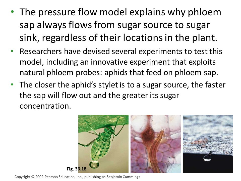 The pressure flow model explains why phloem sap always flows from sugar source to sugar sink, regardless of their locations in the plant.
