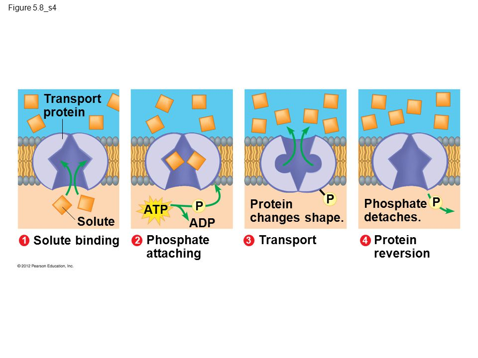 Transport protein P P Protein changes shape. Phosphate detaches. P ATP