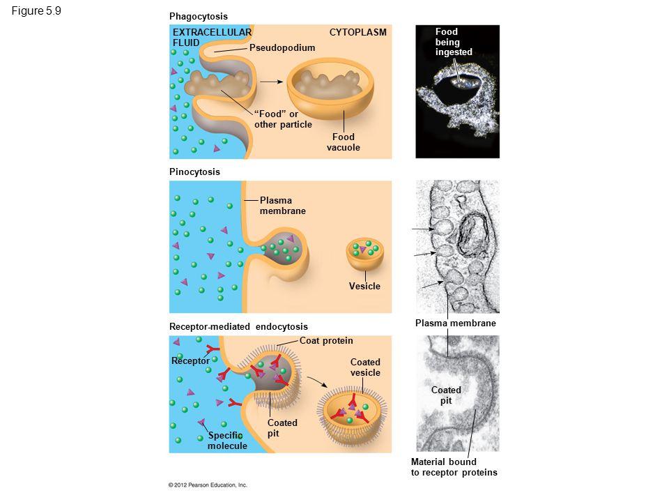 Figure 5.9 Three kinds of endocytosis