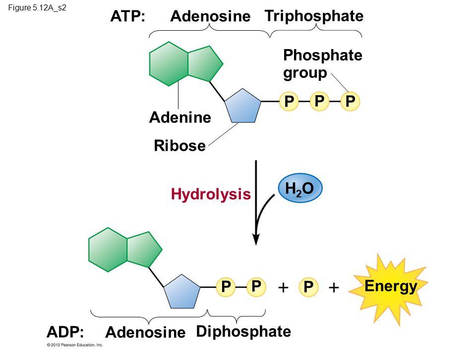 ATP: Adenosine Triphosphate Phosphate group P P P Adenine Ribose H2O