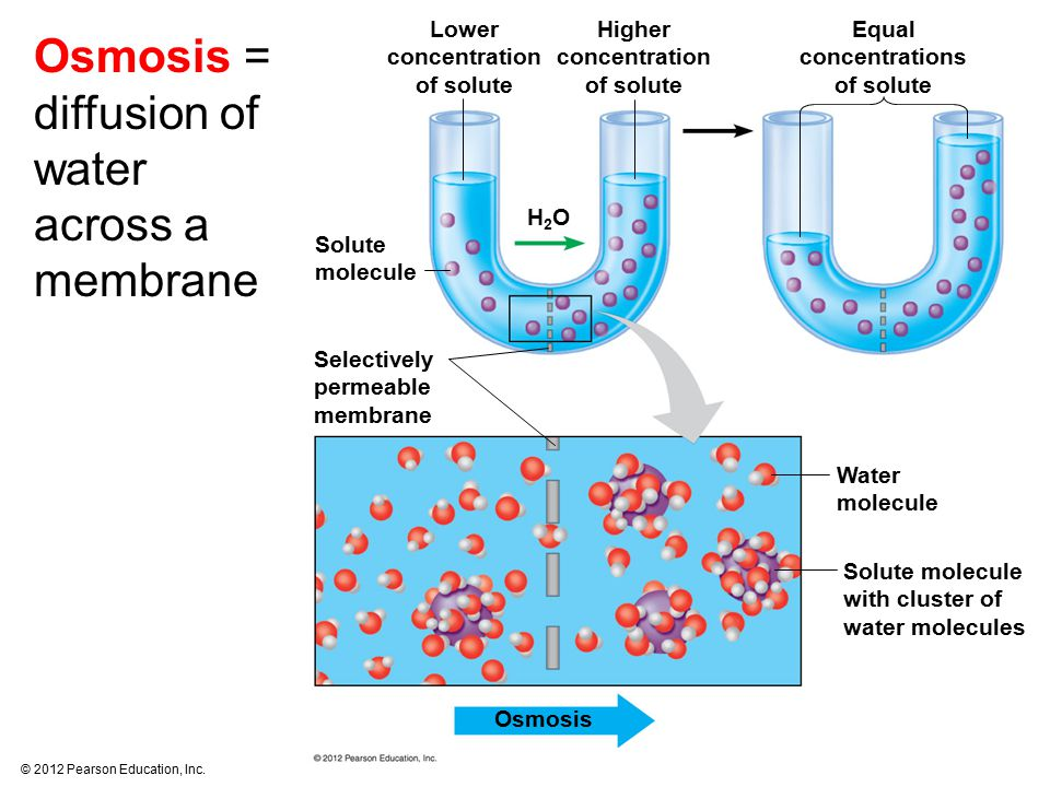 Osmosis = diffusion of water across a membrane