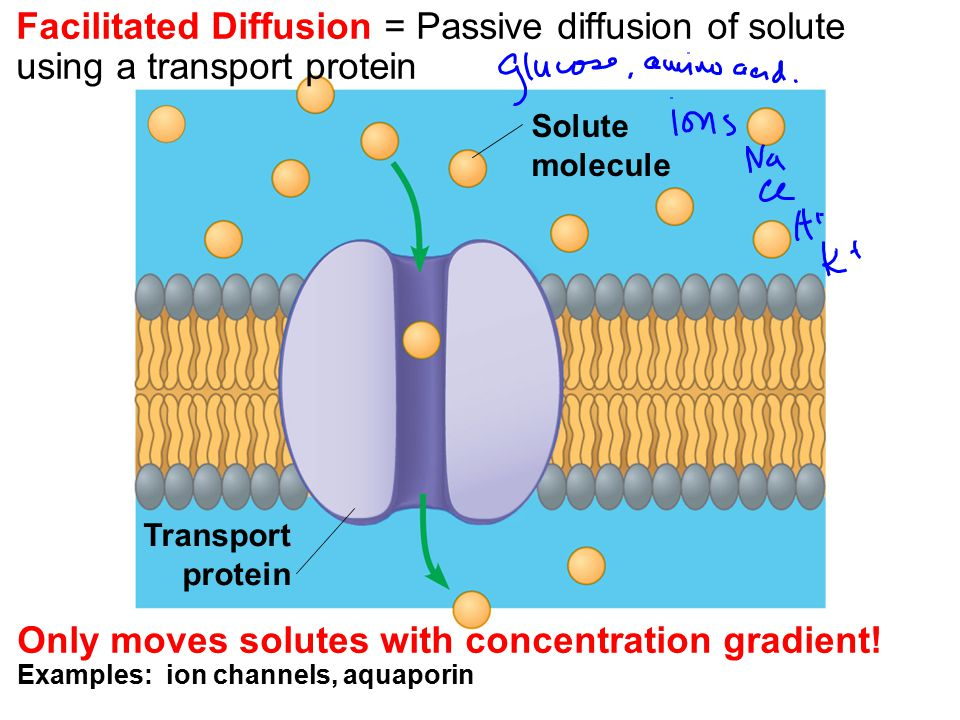 Facilitated Diffusion = Passive diffusion of solute using a transport protein
