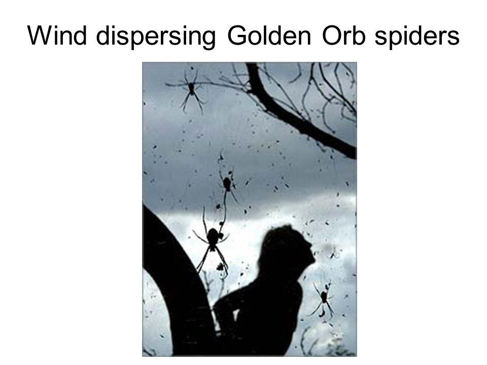 Wind dispersing Golden Orb spiders