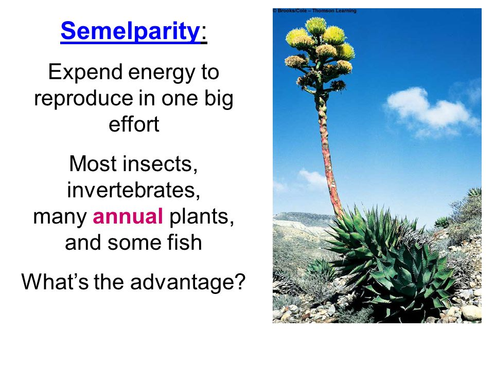 Semelparity: Expend energy to reproduce in one big effort