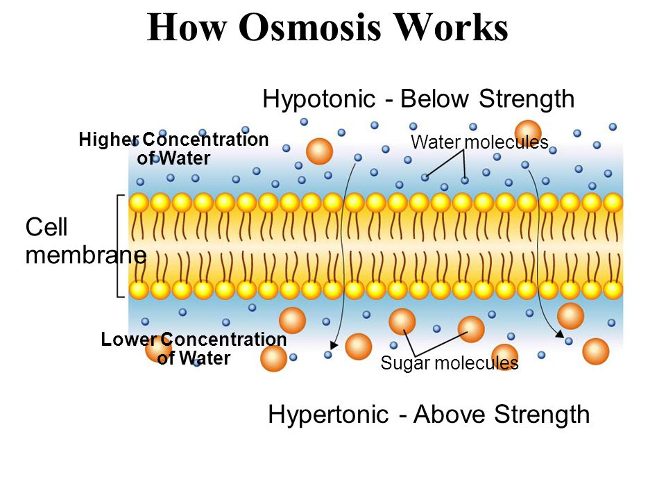 How Osmosis Works Hypotonic - Below Strength Cell membrane