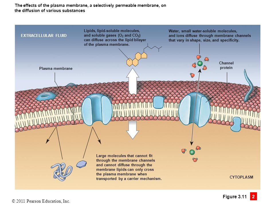 The effects of the plasma membrane, a selectively permeable membrane, on