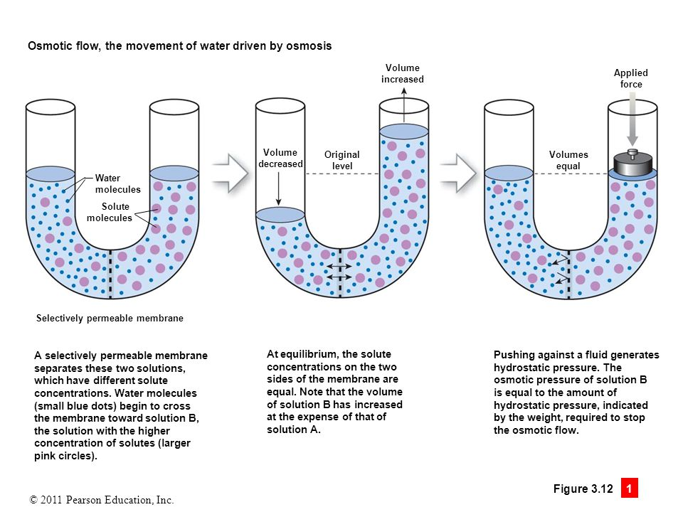 Osmotic flow, the movement of water driven by osmosis