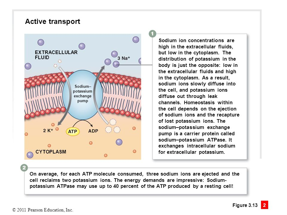 Active transport Sodium ion concentrations are