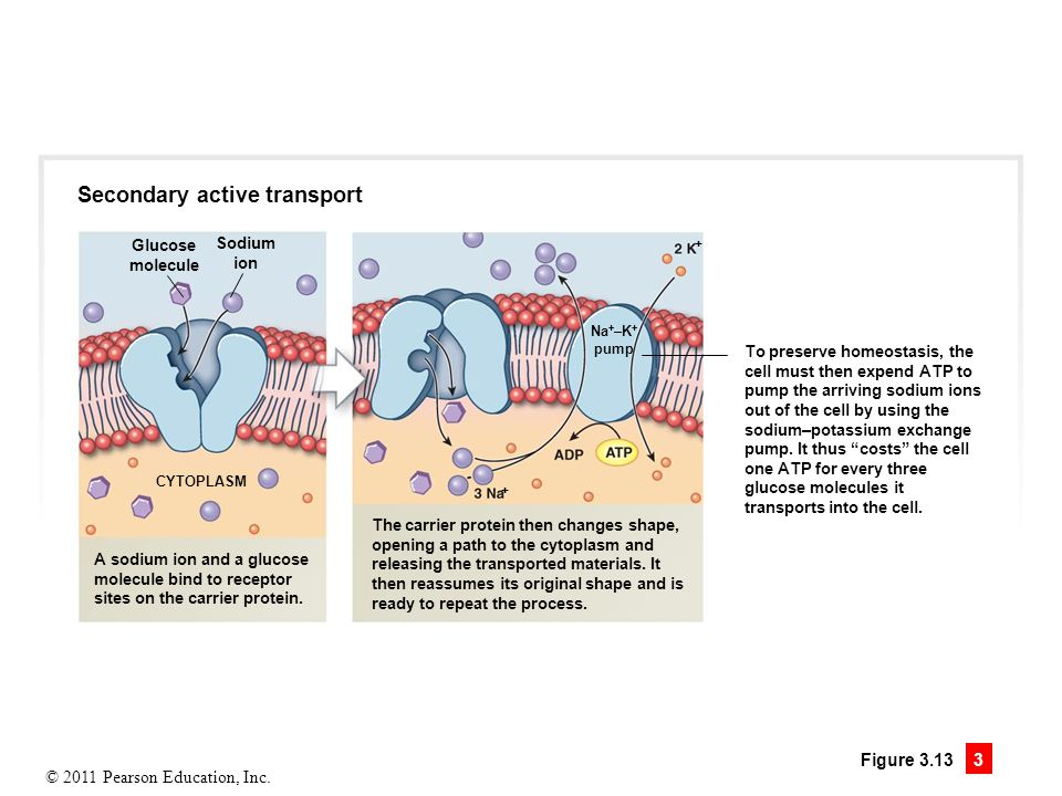 Secondary active transport