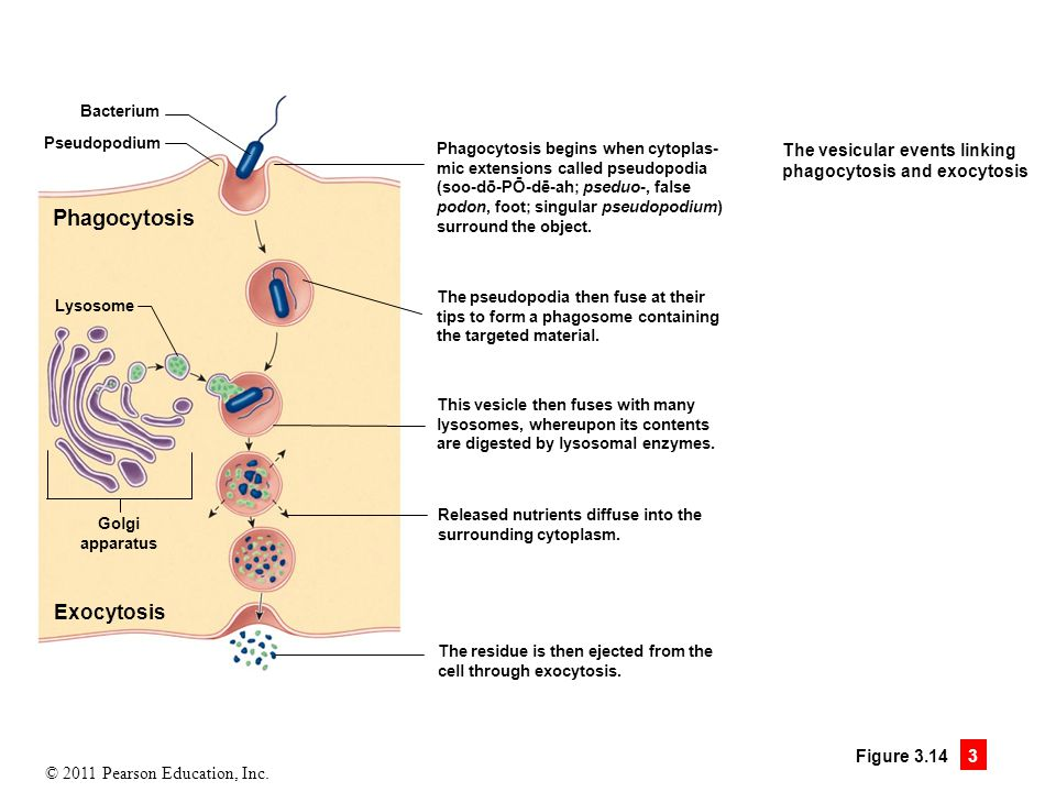 Phagocytosis Exocytosis The vesicular events linking