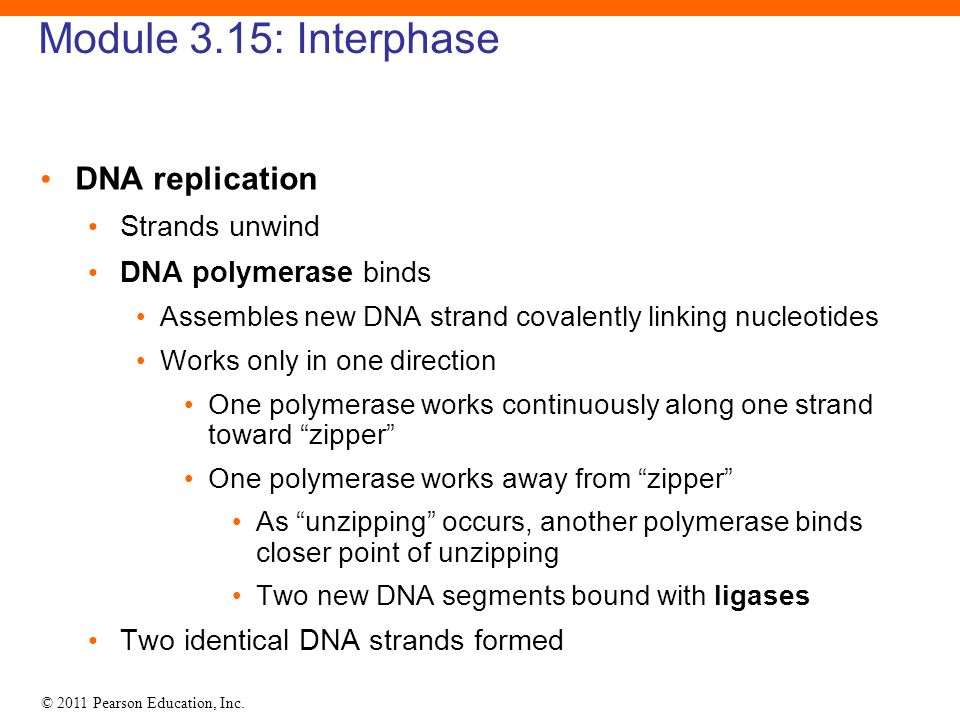 Module 3.15: Interphase DNA replication Strands unwind