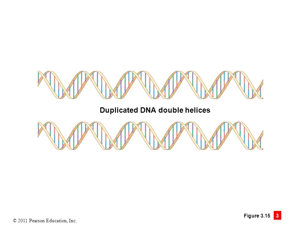 Duplicated DNA double helices