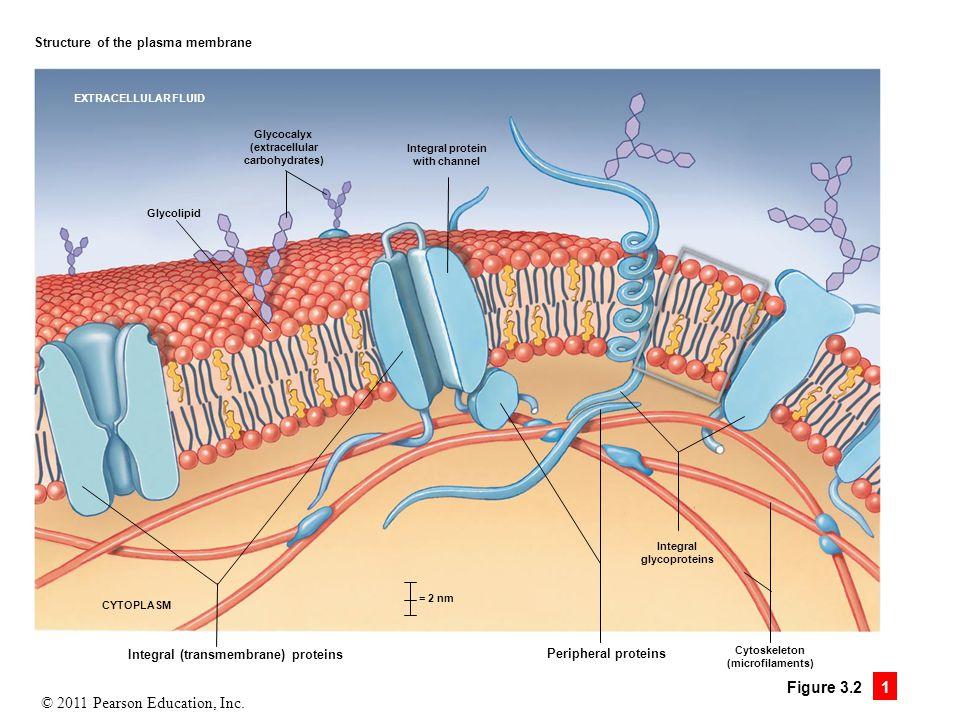 Integral (transmembrane) proteins
