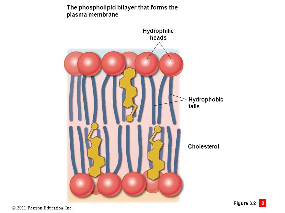 The phospholipid bilayer that forms the plasma membrane