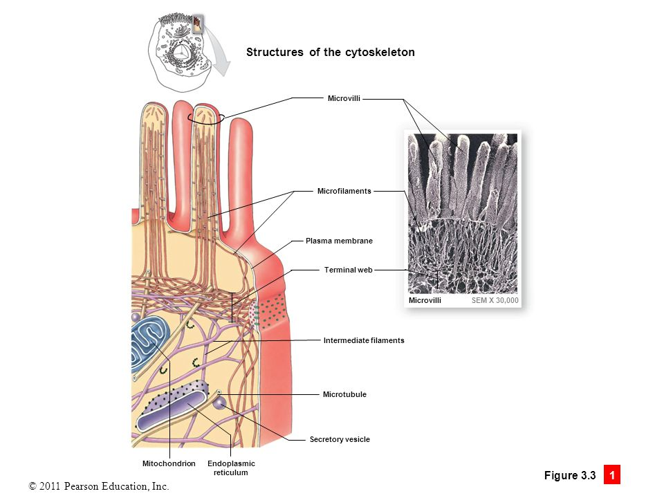 Structures of the cytoskeleton