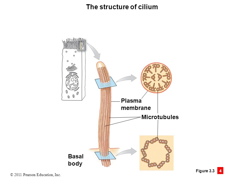 The structure of cilium