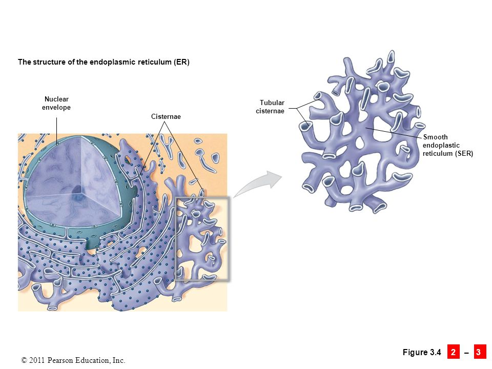 The structure of the endoplasmic reticulum (ER)