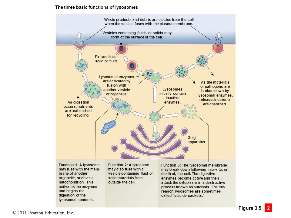 Figure 3.5.2 The Golgi apparatus is a packaging center