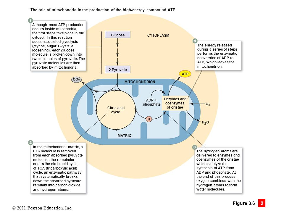 Figure 3.6.2 Mitochondria are the powerhouses of the cell