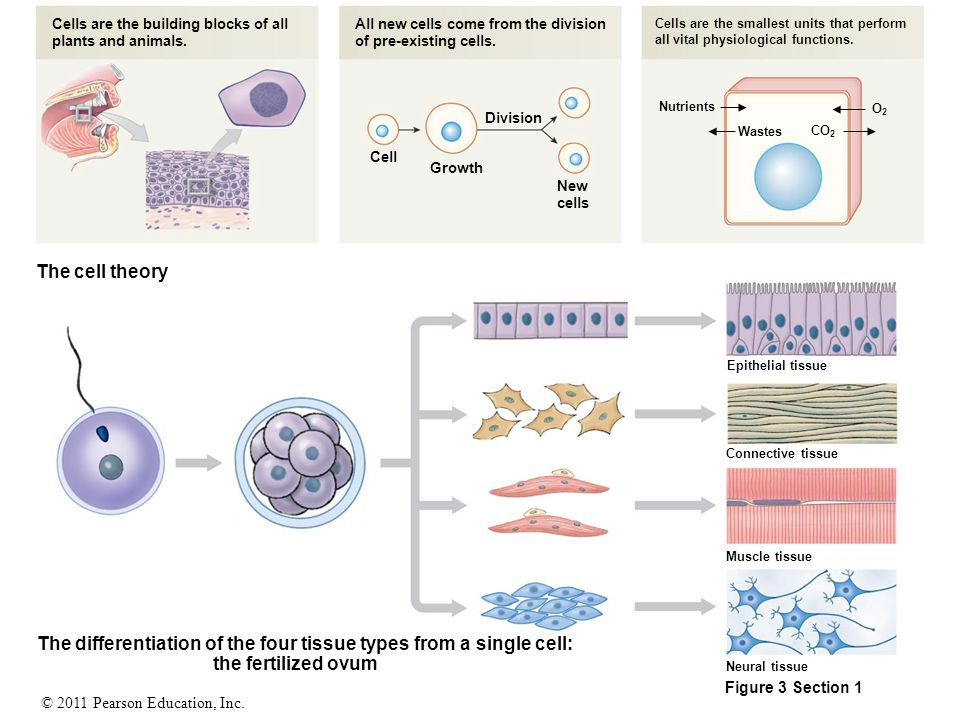 The differentiation of the four tissue types from a single cell: