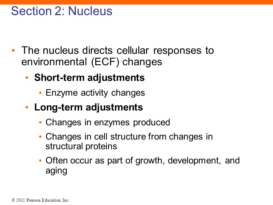 Section 2: Nucleus The nucleus directs cellular responses to environmental (ECF) changes. Short-term adjustments.