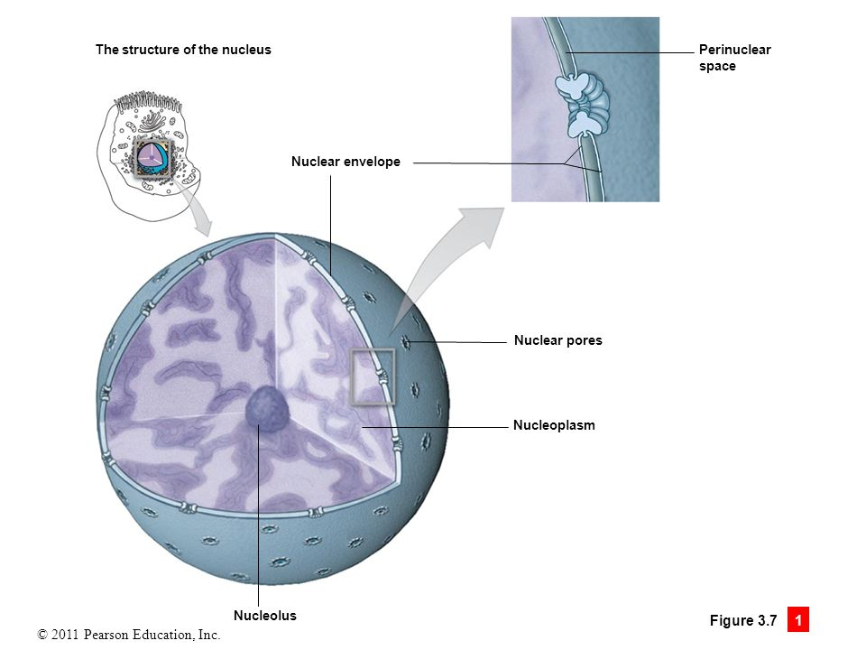 The structure of the nucleus