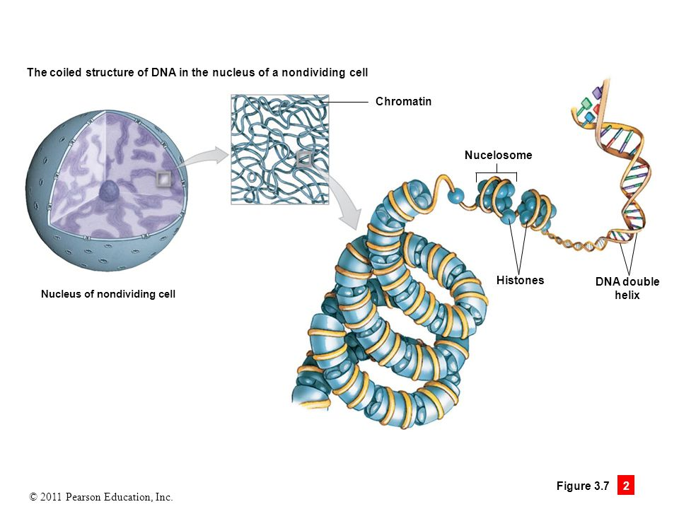 The coiled structure of DNA in the nucleus of a nondividing cell