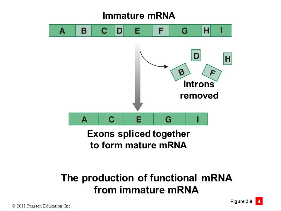Exons spliced together The production of functional mRNA