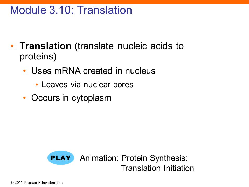 Module 3.10: Translation Translation (translate nucleic acids to proteins) Uses mRNA created in nucleus.