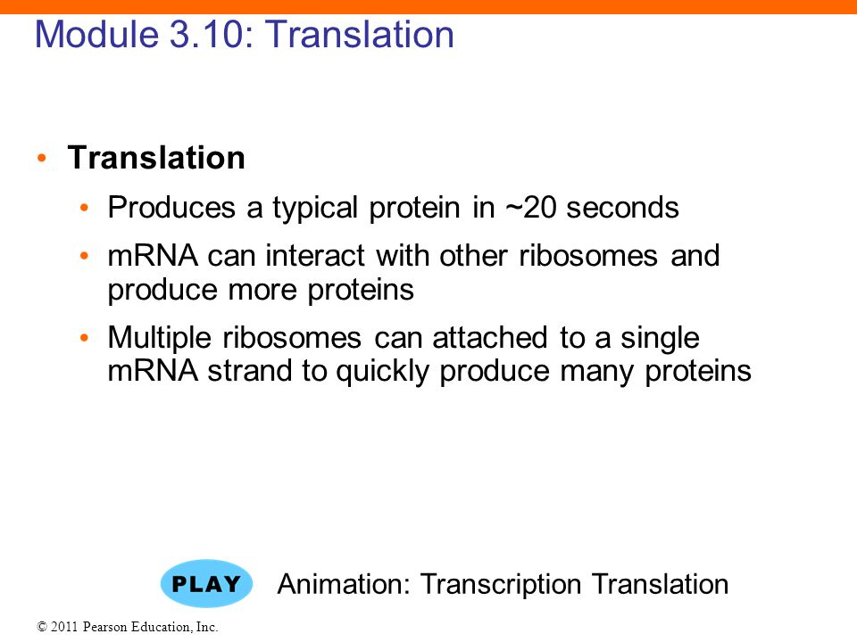 Animation: Transcription Translation
