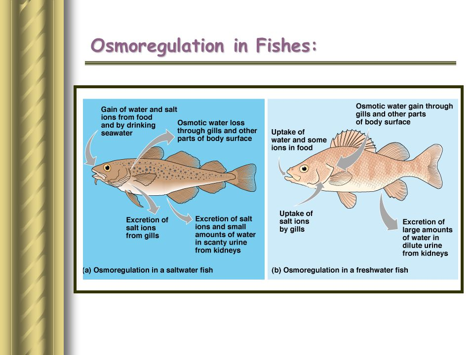 Osmoregulation in Fishes: