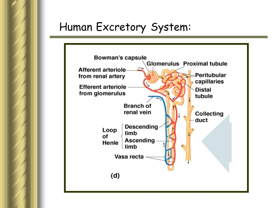 Human Excretory System: