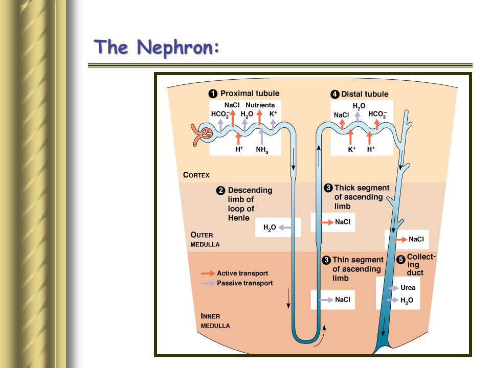 The Nephron: