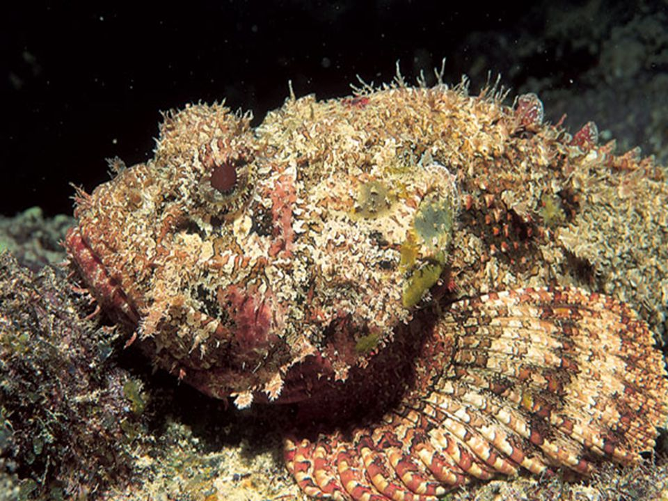 Notice the unusual coloration of this stonefish – part of it comes from the algae that live on it. The coloration is camouflage, one of two defensive mechanism that the stonefish relies on. The other defensive mechanism is a series of poisonous spines along it s back. There are many stonefish in the Indian Ocean, and unless you ve grown up with them, you don t know what to look for. If you re a swimmer or diver who happens to step on a stonefish, you are in a dangerous situation.