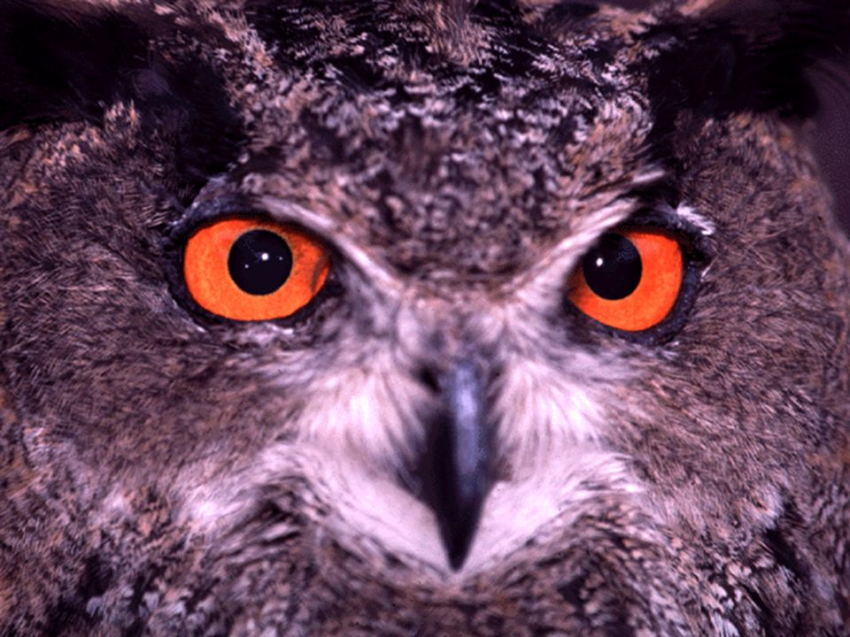 Note the owl s large eyes – an adaptation for seeing at night
