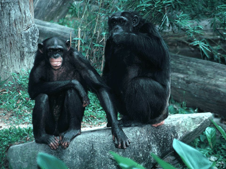 Fairly closely related to humans and what many people would consider to be highly evolved are the primates.