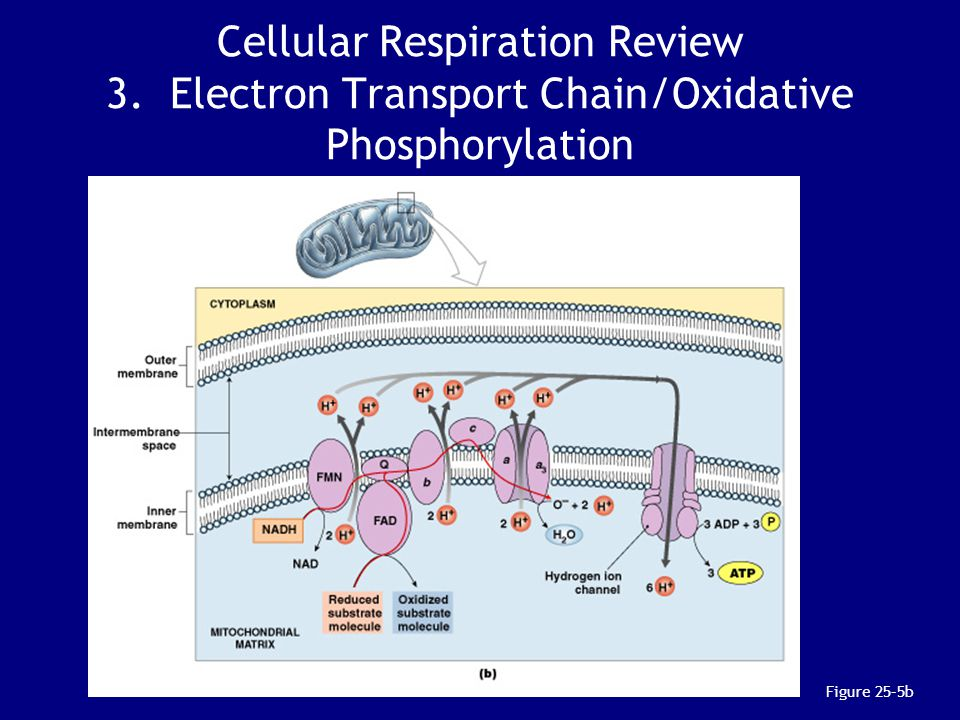 Cellular Respiration Review 3